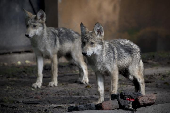 Presentan en DF a primeros lobos mexicanos reproducidos por inseminación