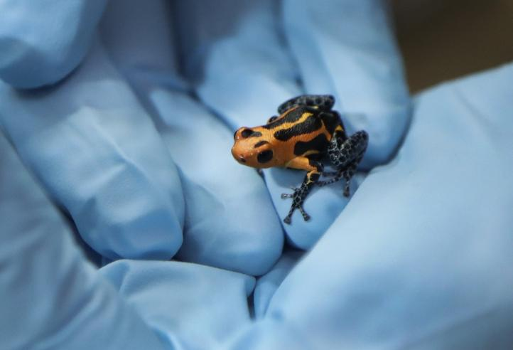 Experta en anfibios de EU trata de prevenir su extinción