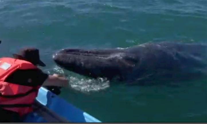 Cientos de ballenas grises llegan a la península de Baja California.