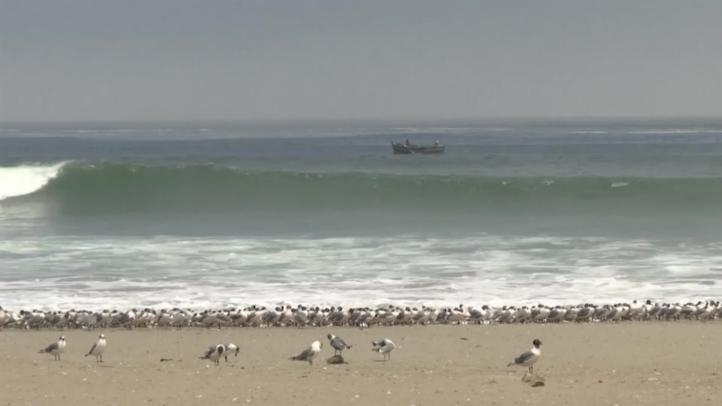 Tras declarar estado de emergencia, playas en Lima se llenan de aves