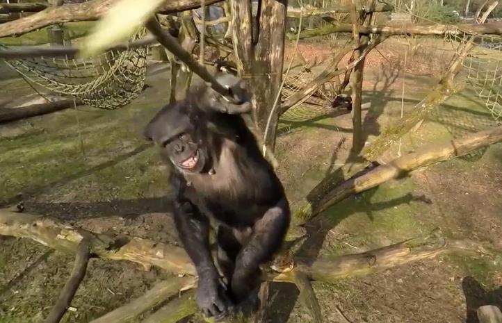 Chimpancé derriba dron en zoológico holandés