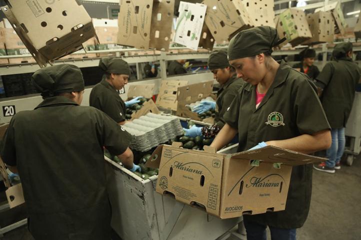 Productores de aguacate lanzan SOS ante la delincuencia