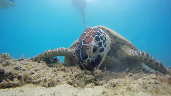 Microplásticos afectan a todas las especies de tortugas marinas