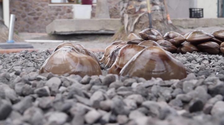BC: Buscan denominación de origen para la almeja tatemada