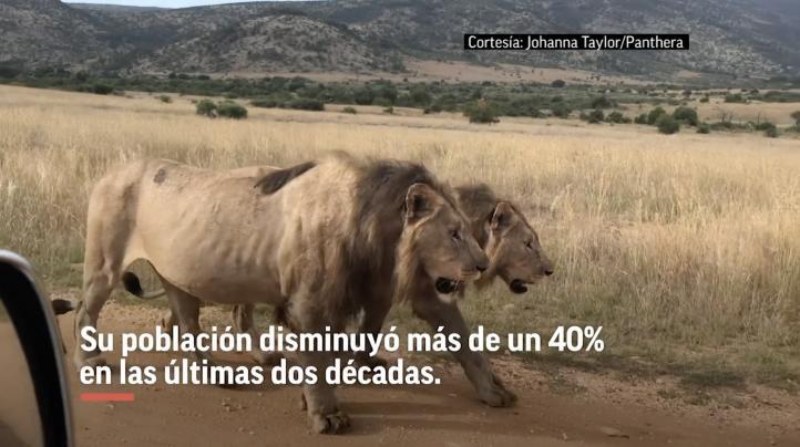 Experimento en Tanzania trata de evitar extinción de leones